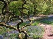 Bluebells The Wrekin