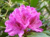 Pink Rhododendron, Abbey Gardens