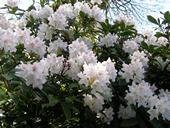 White Rhododendron, Abbey Gardens
